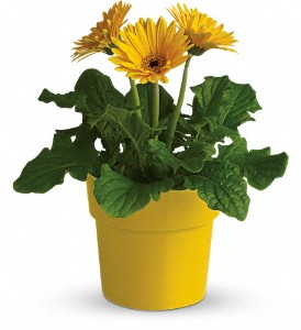 Plants fremont flowers the flower shop 2682 mowry ave fremont rainbow rays potted gerbera yellow mightylinksfo